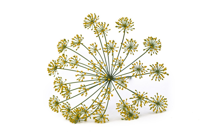 9641dill_flowers